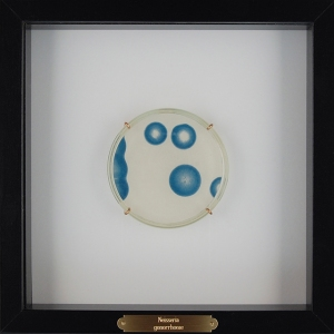 """Transmission: Neisseria gonorrheae"", 2012, petri dish containing an embedded cyanotype in resin, displayed in a shadowbox with brass name plaque, 8""x8""(Petri Dish: 4"")"